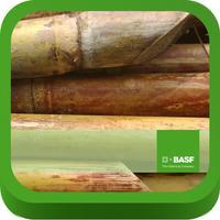 BASF México - Cultivo de la Caña de Azúcar