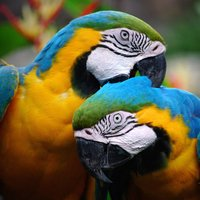 SGS Birds - Shukavana