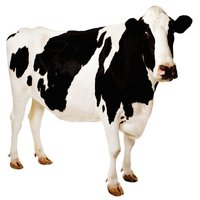 Cow Sound Effects, Ringtones, and Alarms from the Farm to You
