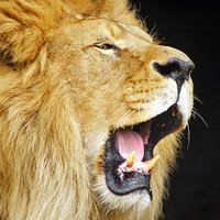 Lion Wallpapers HD - Great Lions Pictures Catalog
