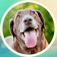 Cute Labrador! Stickers
