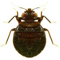 Bed Bug Field Guide