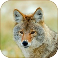 Coyote Hunting Calls - Fox Sounds