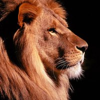 Lion Wallpapers - Big Cats !