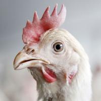 Chicken Sounds!