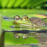 Frog Pond Hop