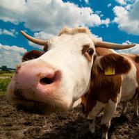 Farm Animal Sounds & Noises