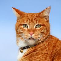Talking Ging Tomcat