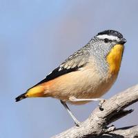 Australian Birds and Sounds