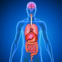 Menschliche Körper Anatomie