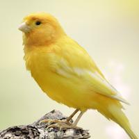 Canary Sounds