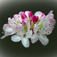 West Virginia Wildflowers