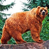 Бурые медведи. Пазл и Фото
