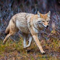 100+ Coyote Hunting Calls - Predator Sounds