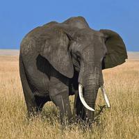 Safari Animal Sounds and Info