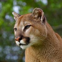 Cougar Sounds!