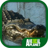 Animal Planet: Alligators
