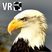 VR Fly With A Real Bald Eagle Virtual Reality 360