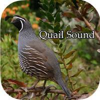 Quail Sound – California, Jungle Bush, Bob White